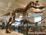 Scheletro di Tyrannosaurus Rex, all'American Museum of Natural History