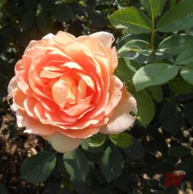 Alcune varietà di rose