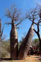 """Baobab """"sdoppiato"""" con dietro i carretti degli zebù."""